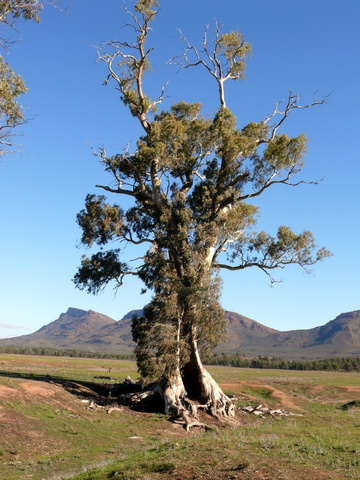 My photo of the Cazneaux Tree