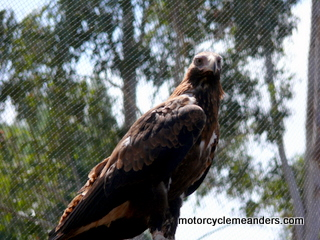 Wedge tail eagle at hospital